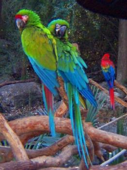 The parrot of my dream - A tropical Military Macaw,the parrot of my dream.Just 2,750 EUR