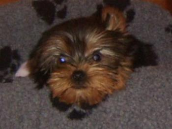 jack , my little yorkie - this is jack , my little yorkie who joined us at christmas.hwe is est friends with our cat and casper the boxer.