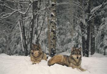 wolves - wolves in snow