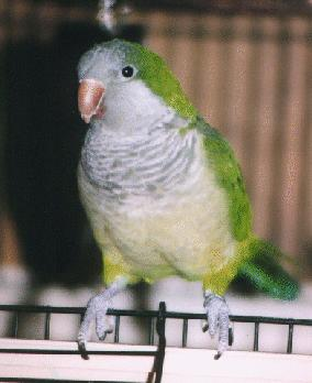 Quaker Parakeet - The Quaker is a small parrot, reaching 11 to 12 inches in length. As a comparison, the Quaker is a bird similar in length to a Cockatiel, but the Quaker's body is heavier and more substantial with an average weight of 90 to 120 grams.