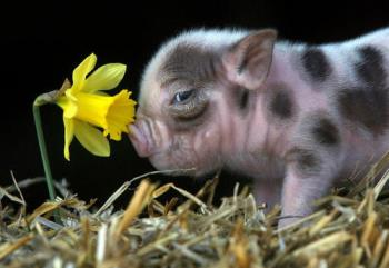 piggy - No time to smell the roses oops daffodils