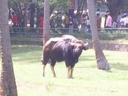 Indian Bison at Mysore Zoo - Photographed at Mysore Zoo
