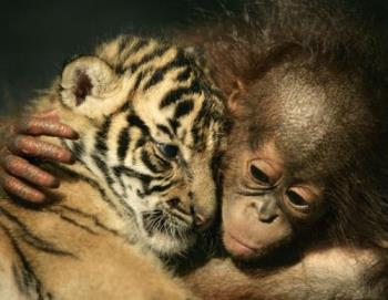dema and irma - good buddy a baby tiger and a baby orangutan