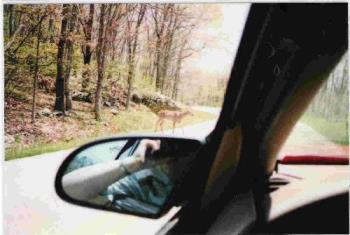 Deer crossing - Here is a picture of a deer crossing the road.