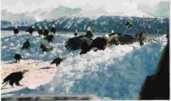 Eagles in Alaska - Here is a picture of eagles in Alaska.