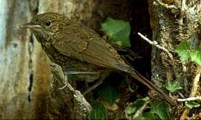 nightingale - The bird with the best voice.