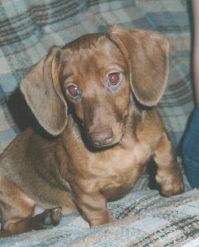 Princess, miniature dachshund - This is Princess, my miniature dachshund.