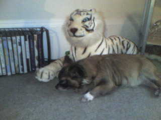 Gissi - This is the little Fellow sleeping with the Tiger lol