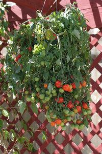 tumbling tom - tumbling tom tomato
