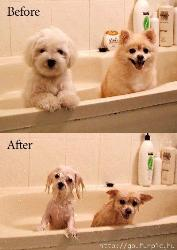 befor and after - 2 wet dogs make a funny