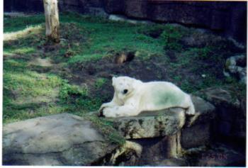 San Francisco Zoo - This is a picture of the polar bear at the San Francisco Zoo.