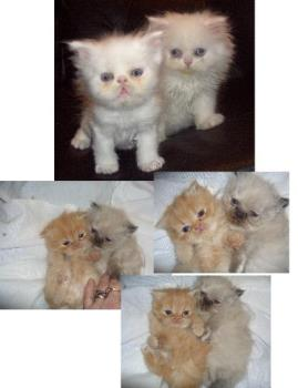 Four baby Persian Kittens - Persian kittens. Different in color.