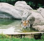 Zoo Inhabitant - Picture of a tiger at the zoo.