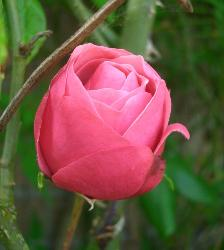 pink rose - i like pink rose symbol of loveee