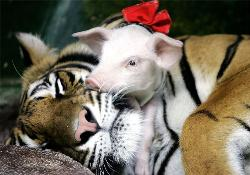 tiger with piglet - tiger with piglet