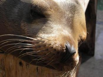 Close Up of Sea Lion Whiskers - Whiskers of a sea lion
