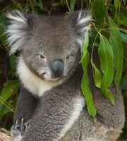 Koala Bear - hehe koala bear from Aussie