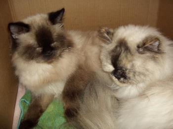 Two of my cats - Kiki and Kisha Himalayan cats