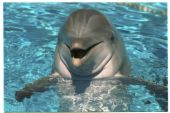 dolphine - dolphine swimming