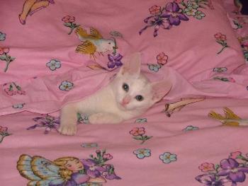 cats - Russian White Kitten
