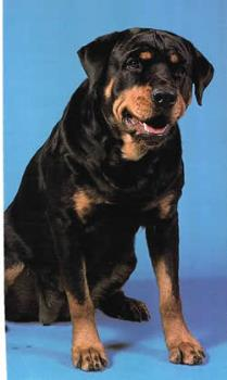 Rotweiller dog - my dog looks like this one!