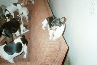 Ezzie - Ezzie, Ezzie, dogs, rat terriers,