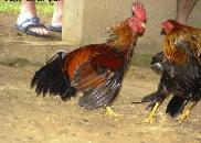 Hen's fighting. - It's old ritual from village that hen of the person who wins is very lucky.