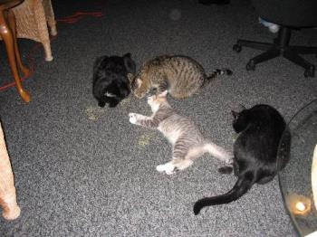 cats loving there catnip - my babies getting spoiled with catnip