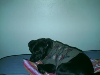 Trixie - Trixie likes to wear clothes!