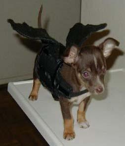 Berkeley on Halloween - This is my dog, berkeley, in her halloween costume