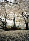 fallen cherry blossom - isn't it sweet?