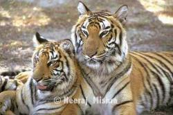 tiger, police  - tiger, police