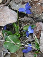 Sweet violet. - This is a photo of a few wild violets aka sweet violets. They are used in many culinary dishes and even has medical herbal uses. It has about 400-500 different varities of he plant..