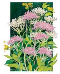 Valerian Root - Flower of the Valerian Plant
