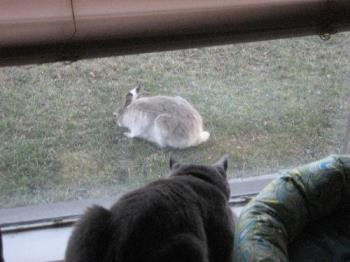 The cat and the rabbit.. - What is this cat thinking about this wild rabbit that wandered into the yard??