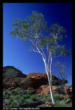 Gum tree - Gum tree in the Northern Territory