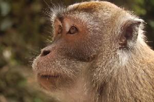 Ape - Ape or oranggutan?