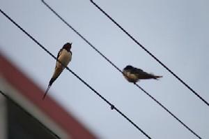Birds - Birds on wire.