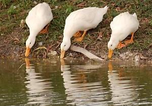 Ducks - Ducks drinking/eating.