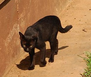 Black cat - A black cat on the path.