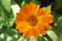 Pot marigold - Calendula, or Pot marigold