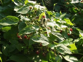 The spider  - in our raspberry patch