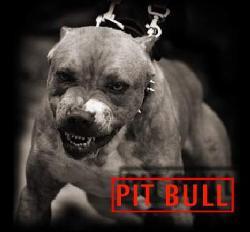 Pitbull danger - The pitbull is ugly