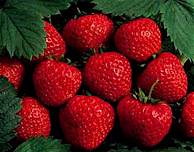 strawberries - A bunch of really juicy, sweet strawberries.
