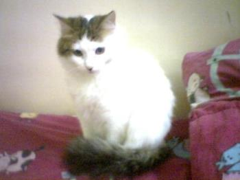 QIANA, cute cat - Qiana, a turkish van cat