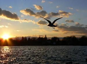 Bird - Bird flying at sunset.