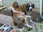 Lap Dog - image of a St. Bernard sitting in presumably owner's lap.