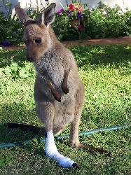kangaroo - kangaroo