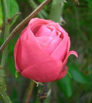 rose - rose is beautiful