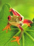 frog green with great eyes - frog green with great eyes frog green with great eyes